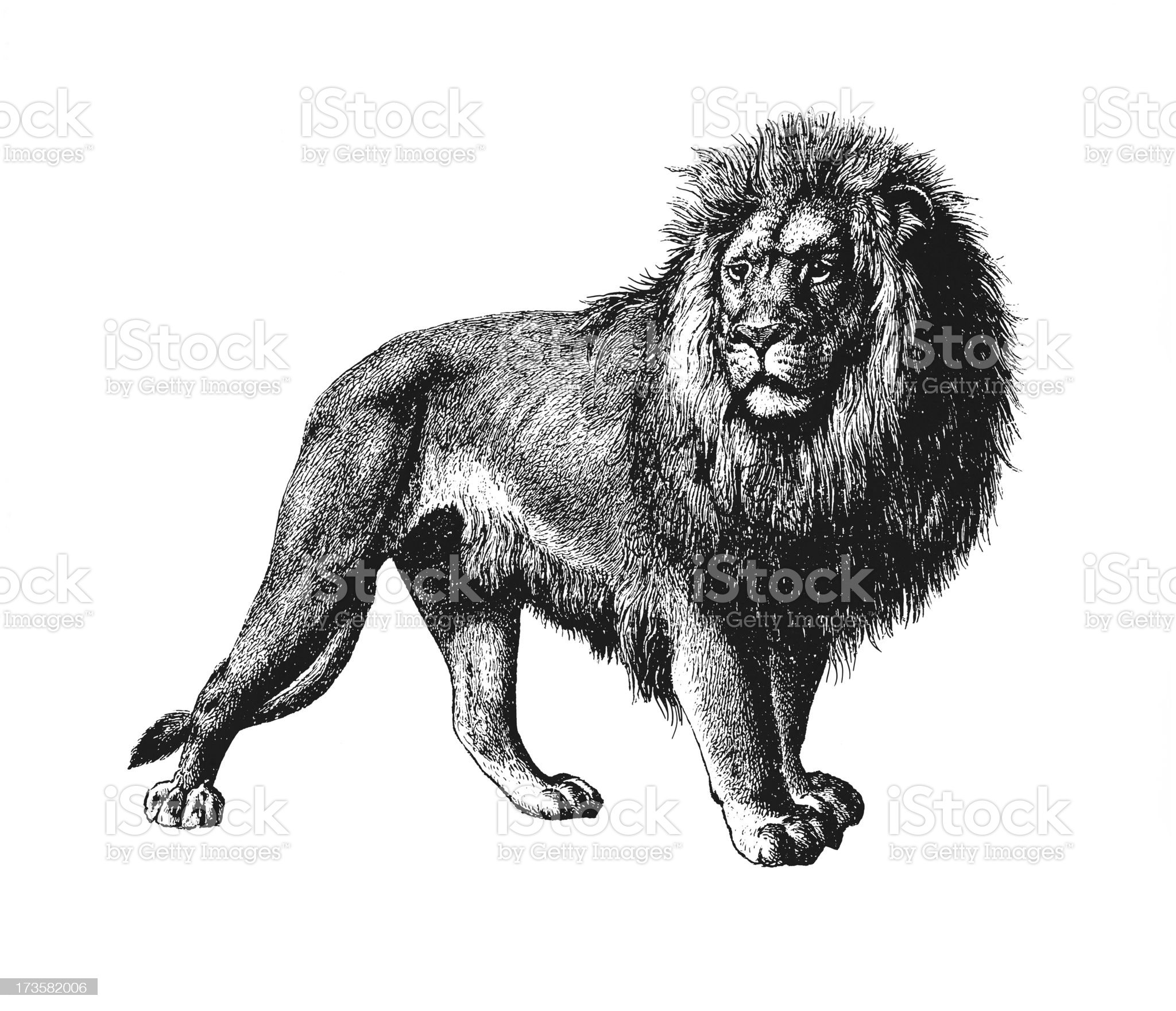 Lion Isolated on White royalty-free stock vector art