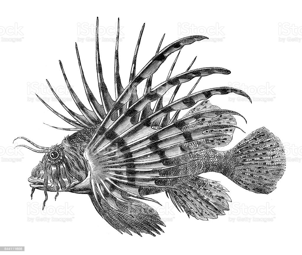 Lionfish Pterois Fish engraving 1881 vector art illustration