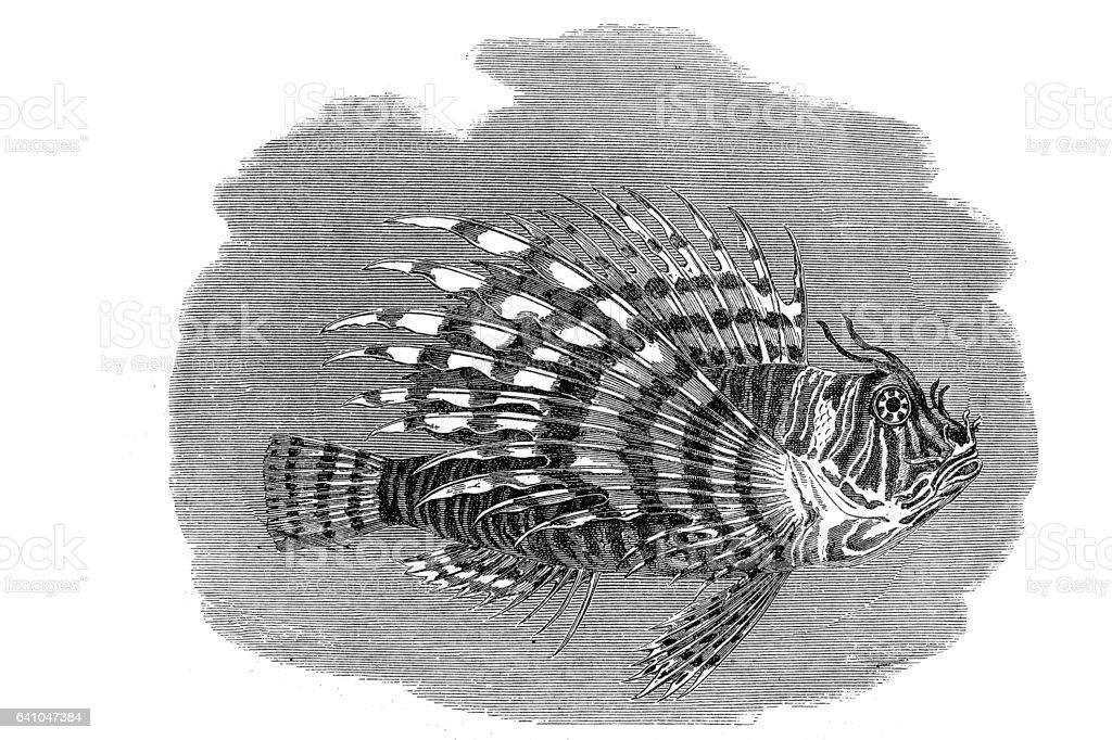 Lionfish Pterois Fish vector art illustration