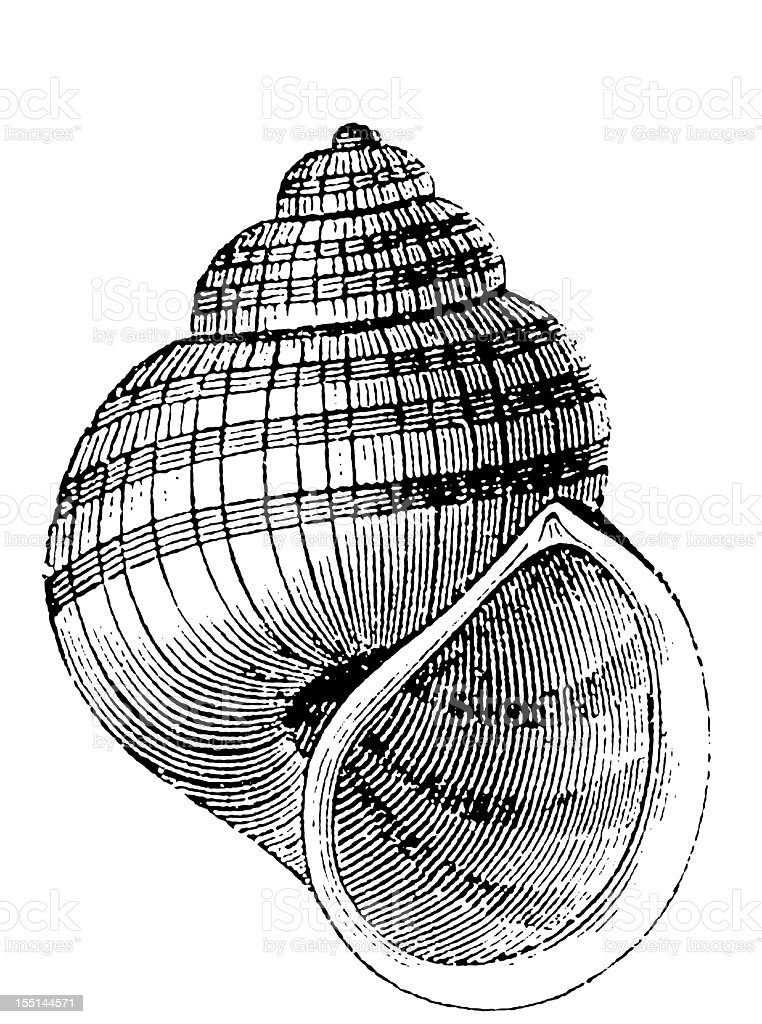 Lister's River Snail (Viviparus Contectus) royalty-free stock vector art