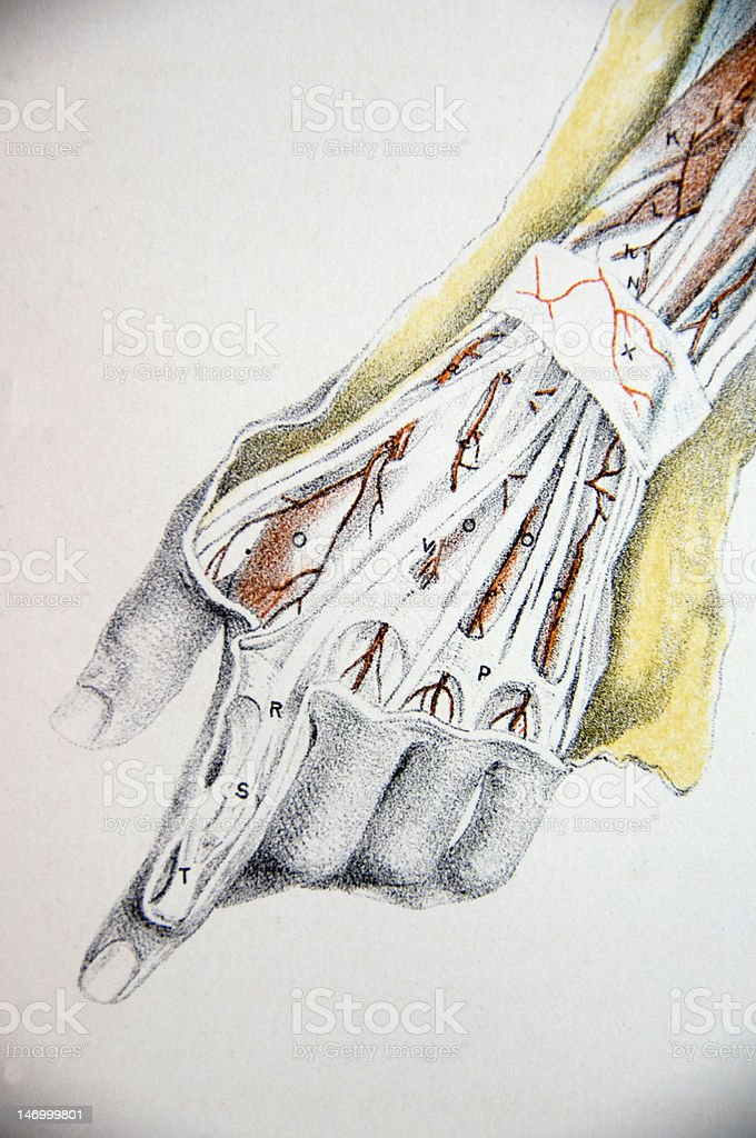 Lithograph Illustration of a Human Hand vector art illustration