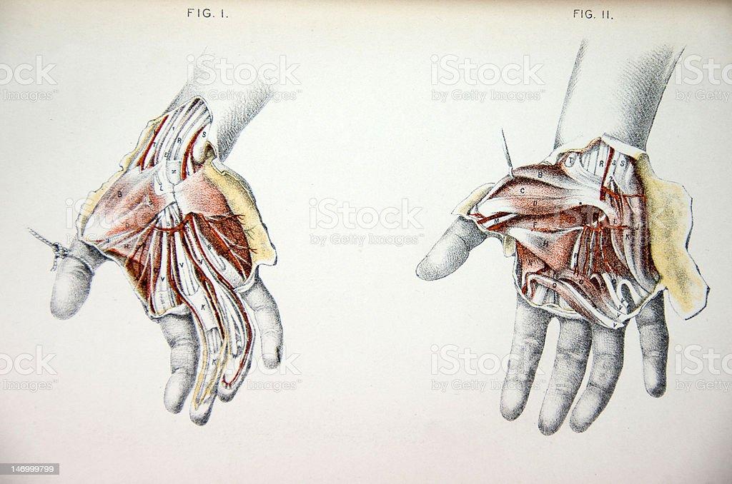 Lithograph Illustration of Human Hands vector art illustration