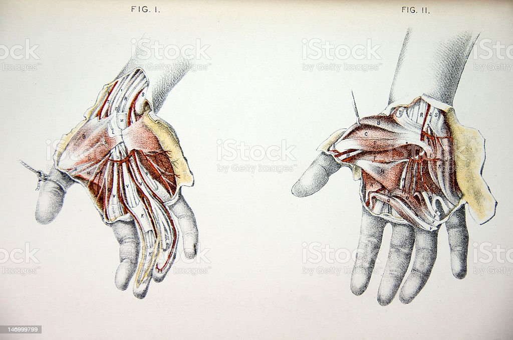 Lithograph Illustration of Human Hands vector art illustration
