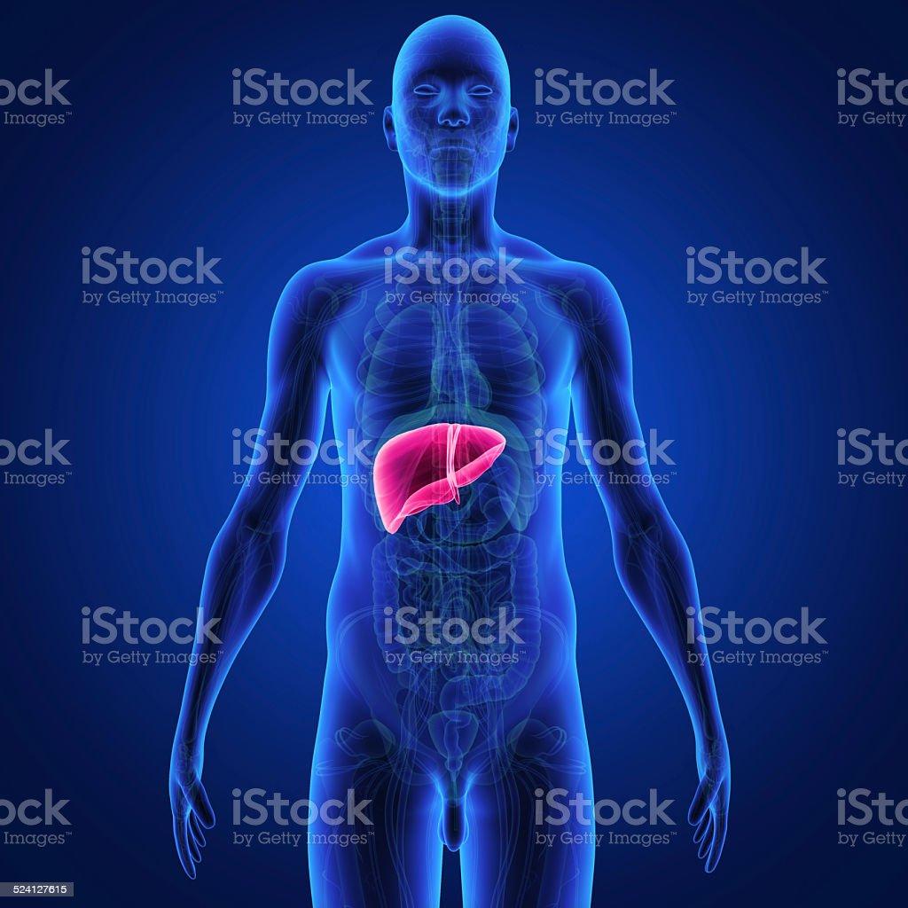 Liver vector art illustration