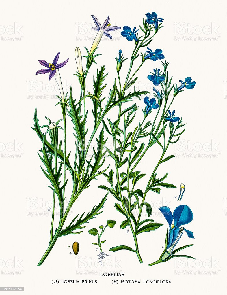 Lobelia flowers vector art illustration