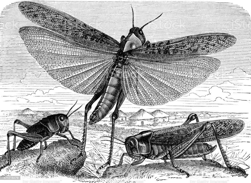 Locust vector art illustration