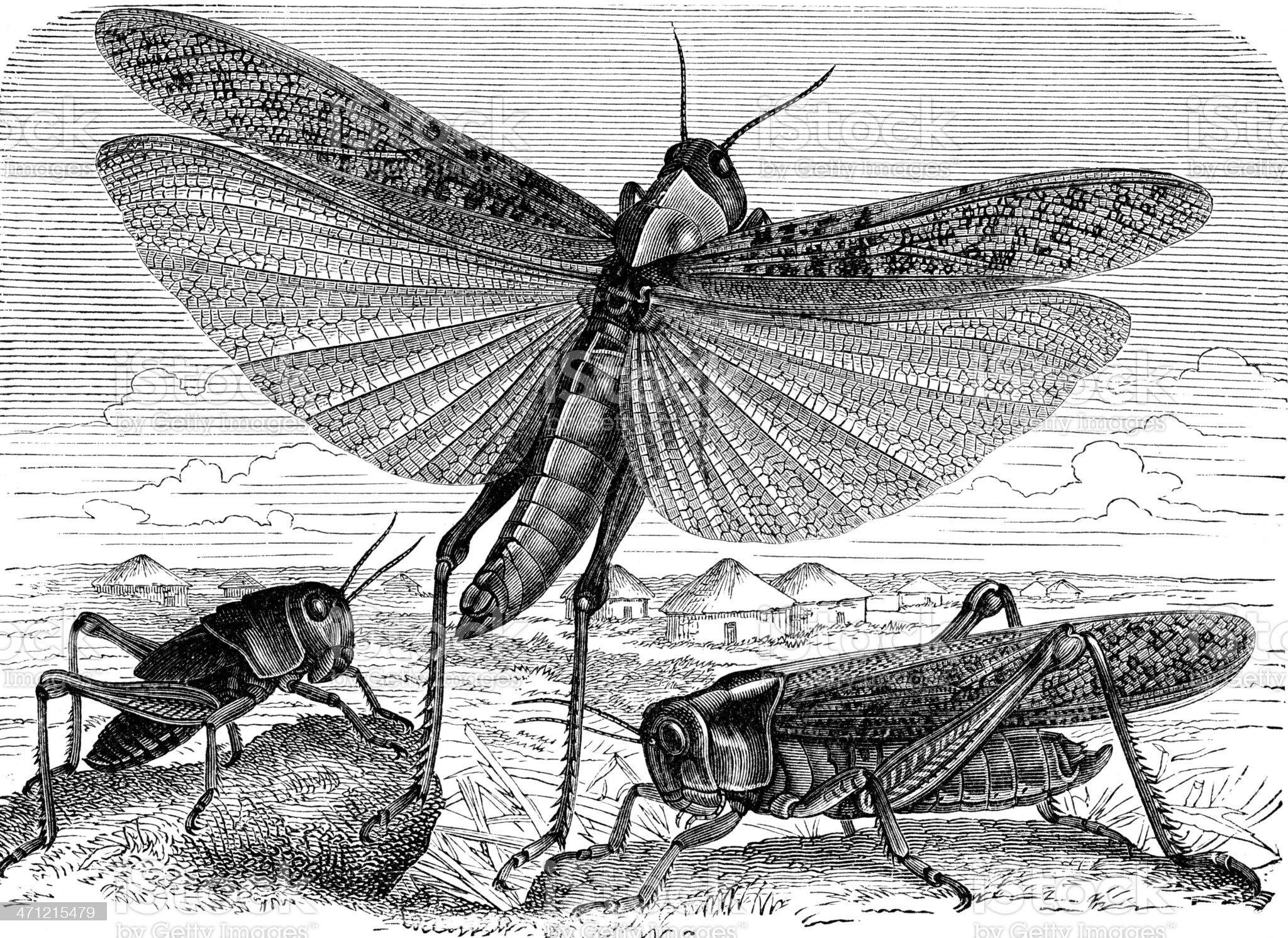 Locust royalty-free stock vector art