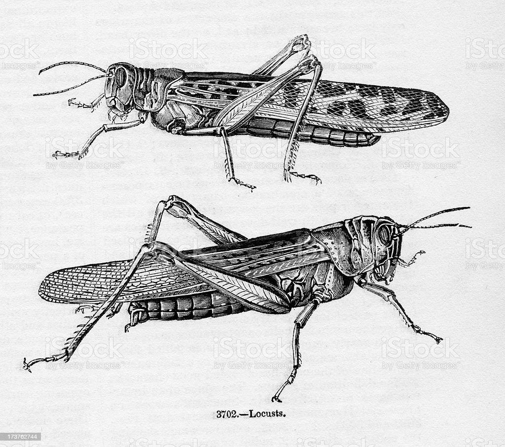 Locusts vector art illustration