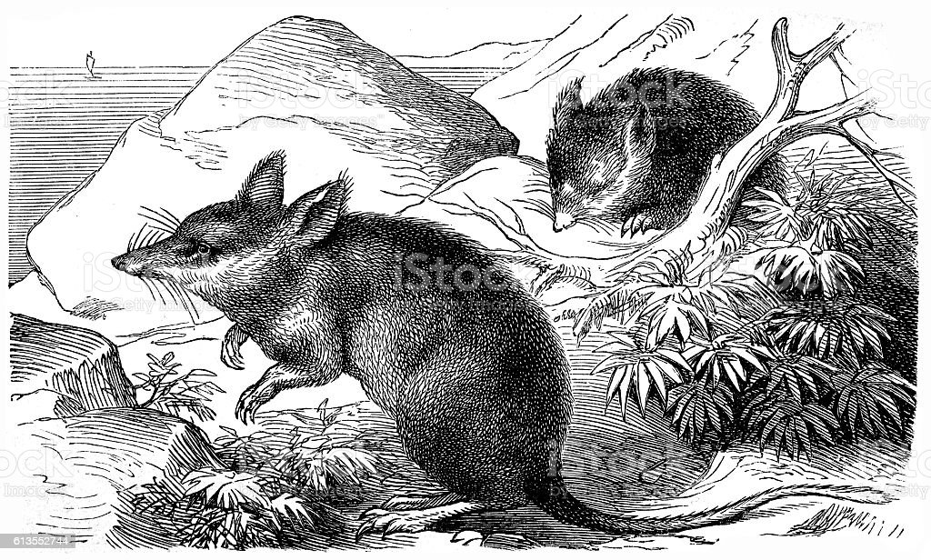 Long-nosed Bandicoot (Perameles nasuta) vector art illustration