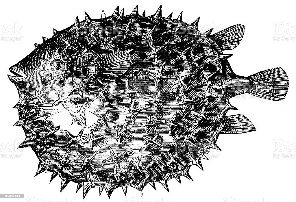 Long-spine Porcupinefish or Spiny Balloonfish (Diodon Holocanthus) vector art illustration