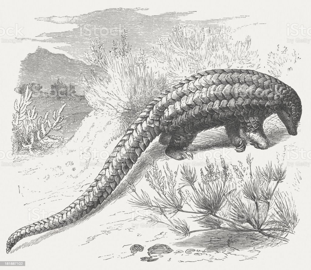 Long-tailed pangolin (Manis tetradactyla), wood engraving, published in 1875 royalty-free stock vector art