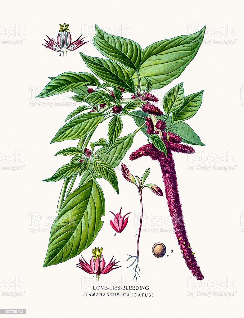 Love-Lies Bleeding Amaranth flower vector art illustration