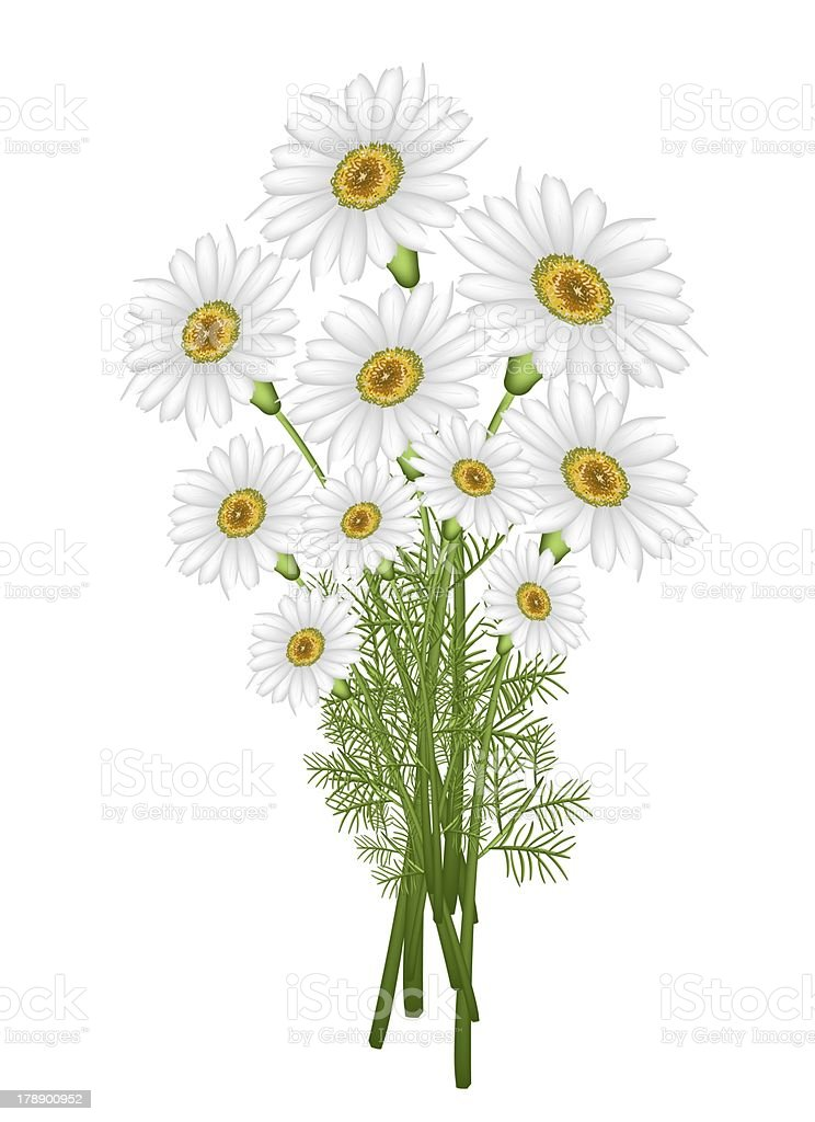 Lovely Fresh Chamomile Bouquet in White Background royalty-free stock vector art