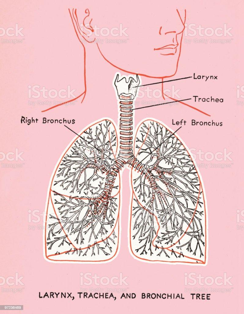 Lung Diagram royalty-free stock vector art