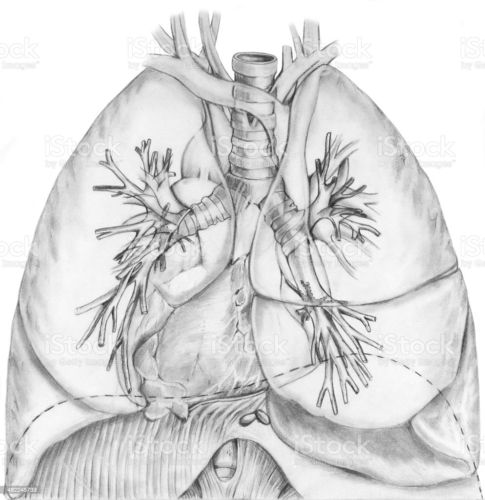 Lungs and Bronchial System vector art illustration