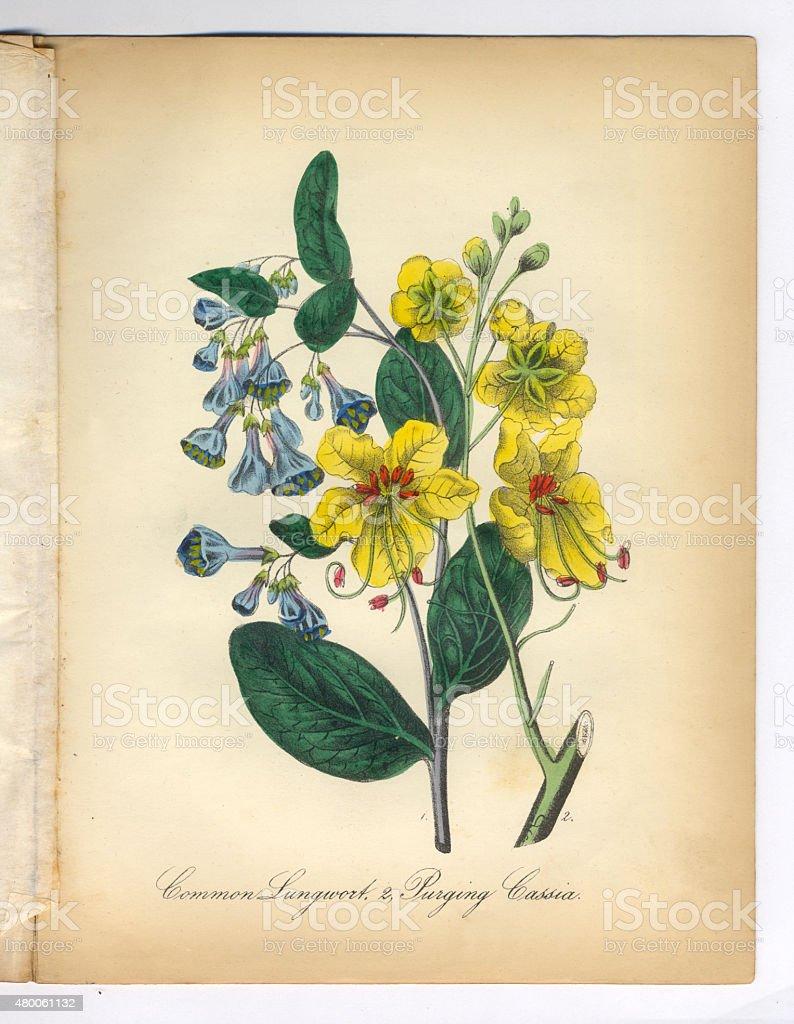 Lungwort and Cassia Victorian Botanical Illustration vector art illustration