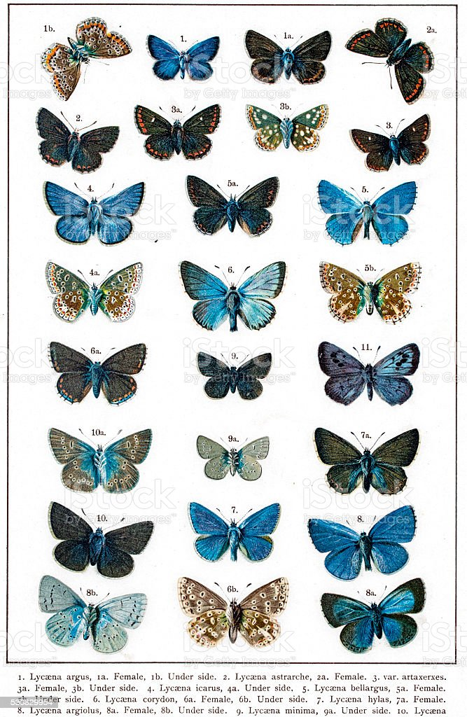 Lycaena butterflies of UK and Europe vector art illustration
