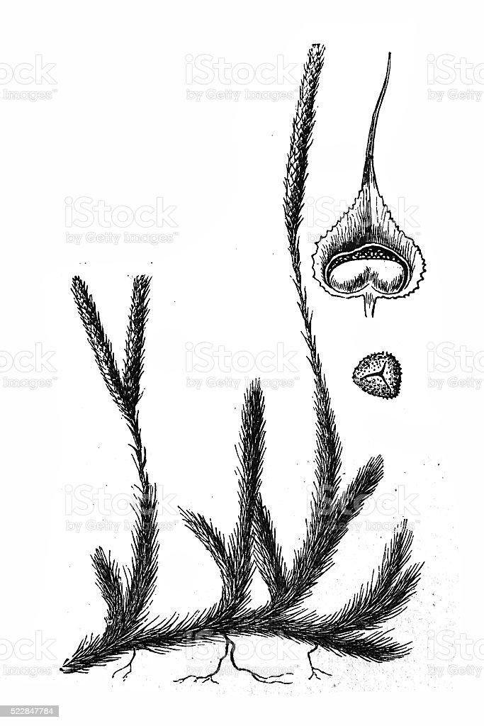 Lycopodium vector art illustration