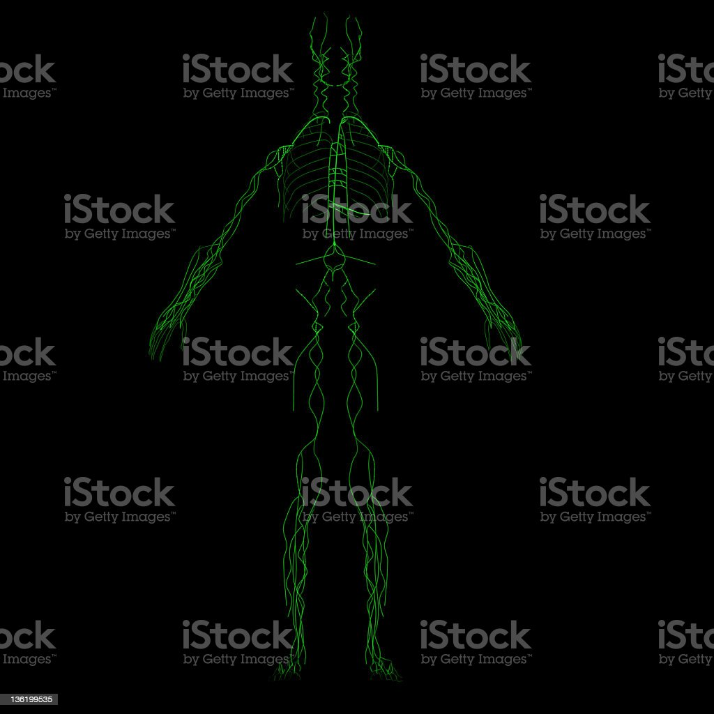 Lymphatic system vector art illustration