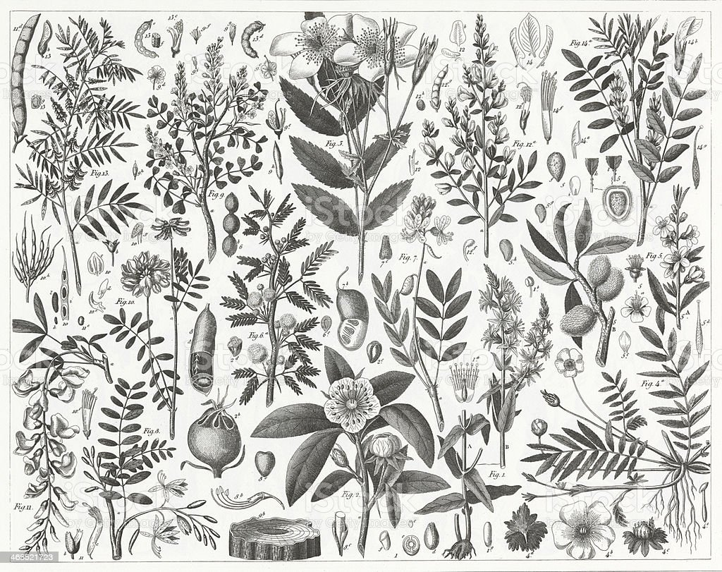 Lythrum and Rosales Engraving vector art illustration