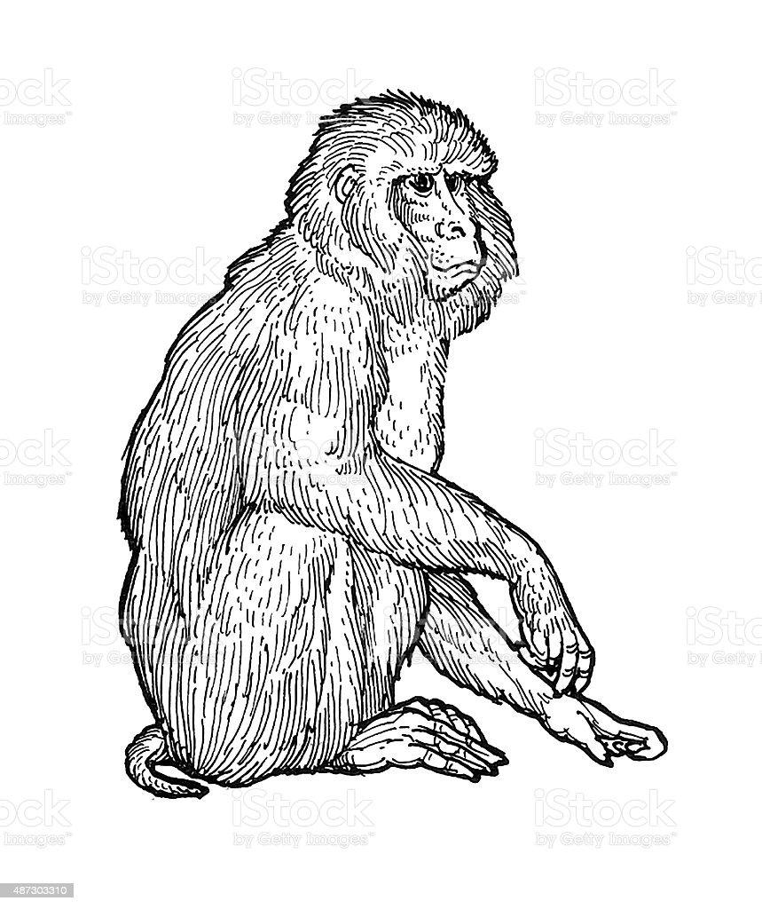 Makake Monkey Lizenzfreies vektor illustration