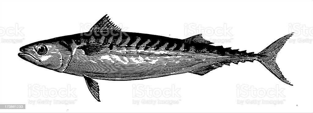Mackerel vector art illustration