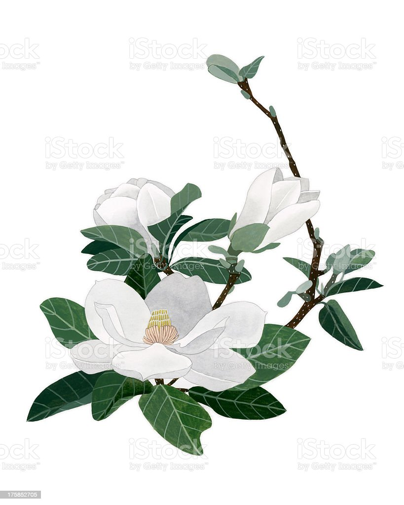 Magnolia Flowers royalty-free stock vector art