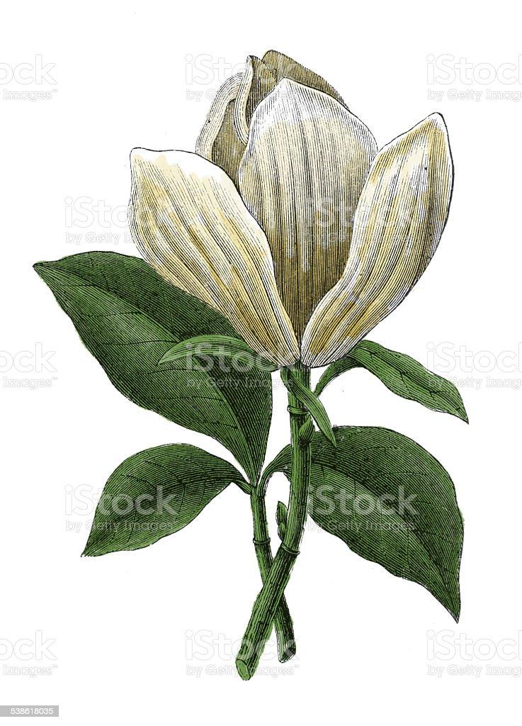 Magnolia grandiflora (antique botanical engraving) vector art illustration