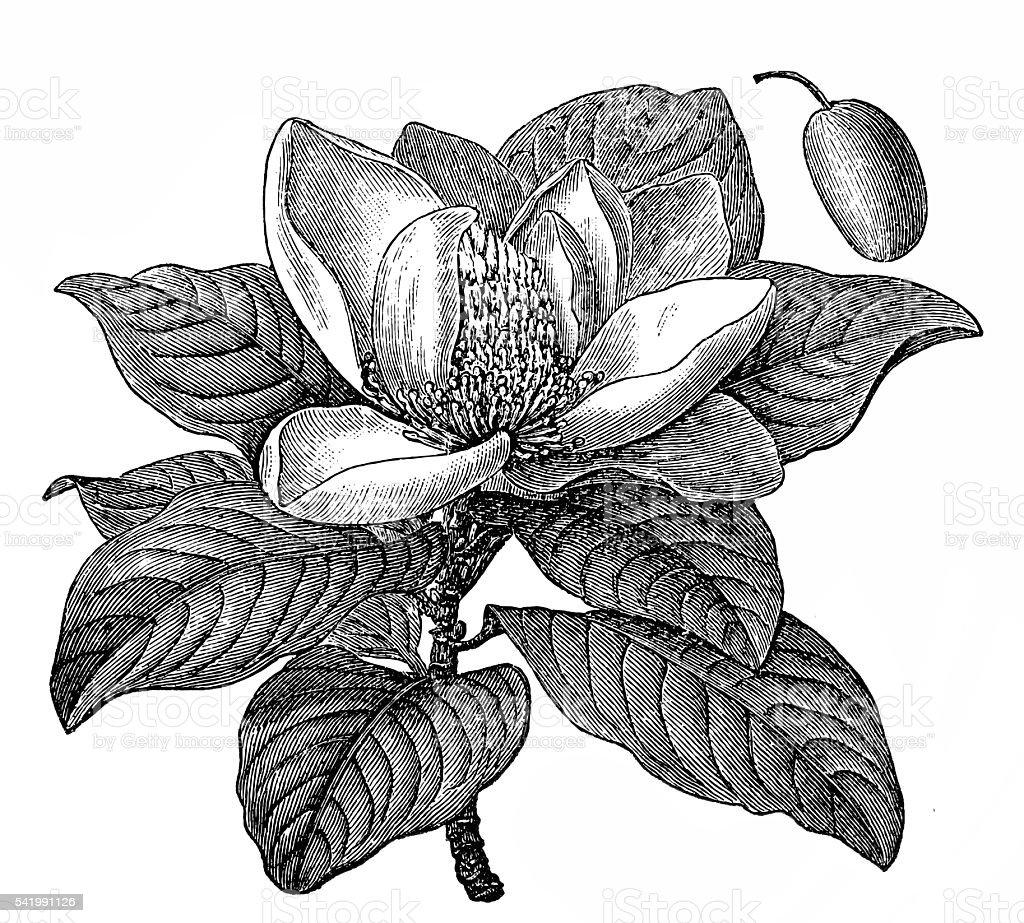 Magnolia grandiflora vector art illustration