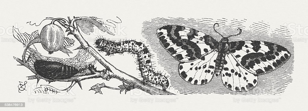 Magpie Moth (Abraxas grossulariata), wood engraving, published in 1882 vector art illustration
