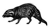 Malabar large-spotted civet   Antique Animal Illustrations