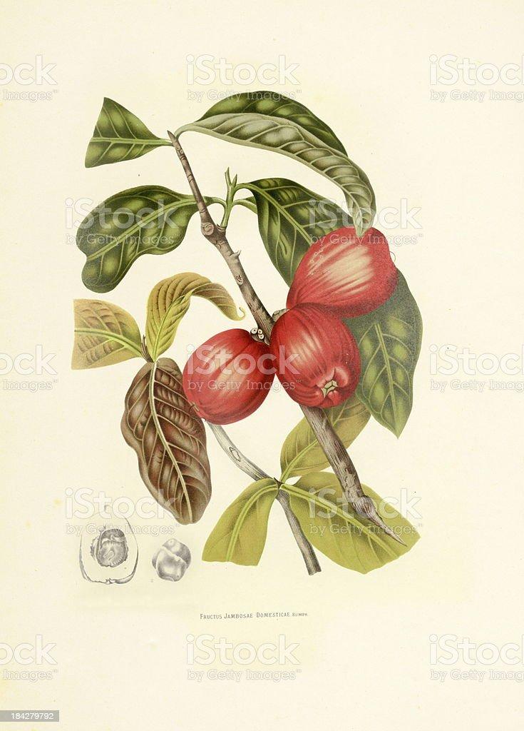 Malay apple | Antique Plant Illustrations vector art illustration