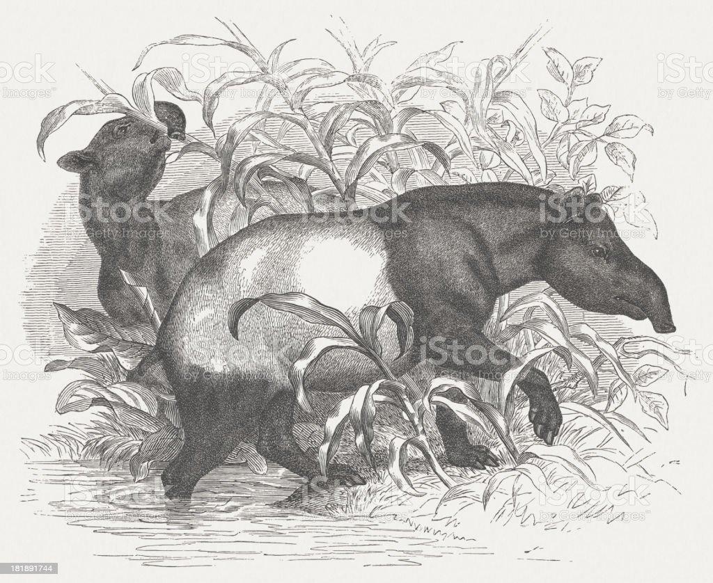 Malayan tapir (Tapirus indicus), wood engraving, published in 1875 royalty-free stock vector art