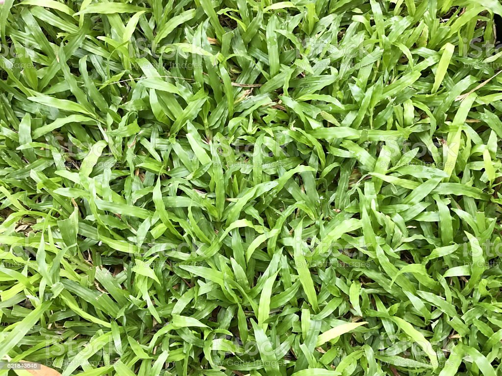 Malaysia Carpet Grass vector art illustration
