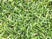 Malaysia Carpet Grass