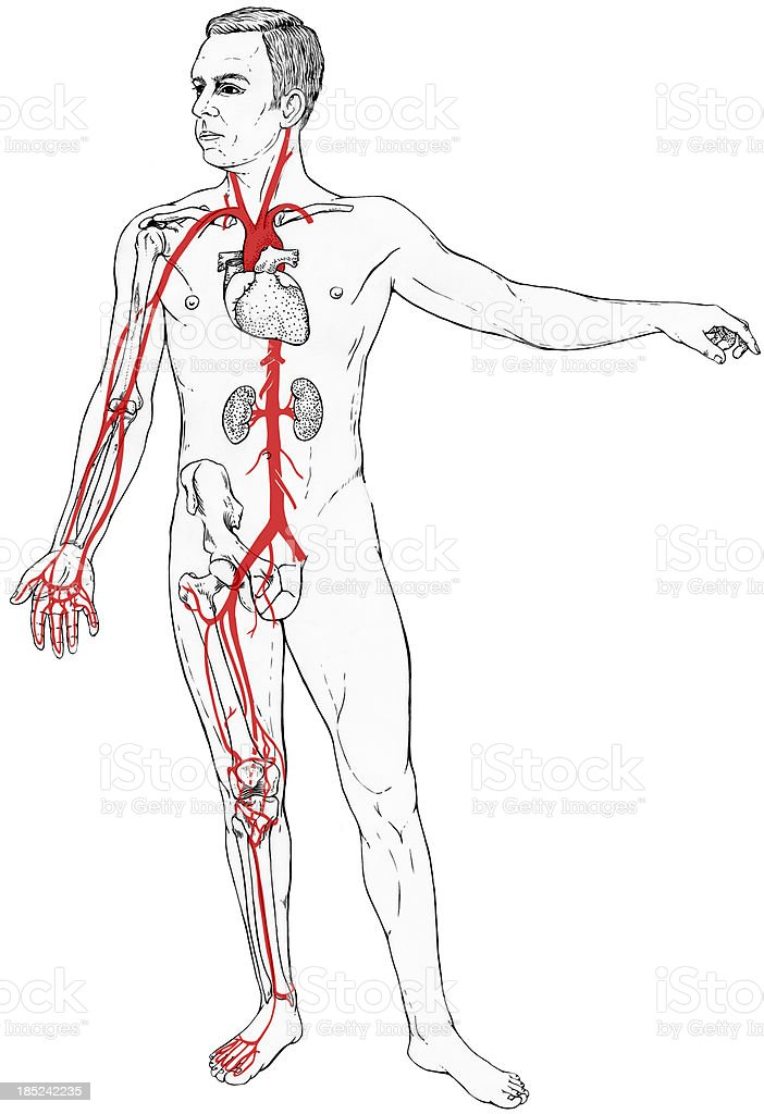 Male Figure with Select Internal Anatomy and Blood Vessels vector art illustration