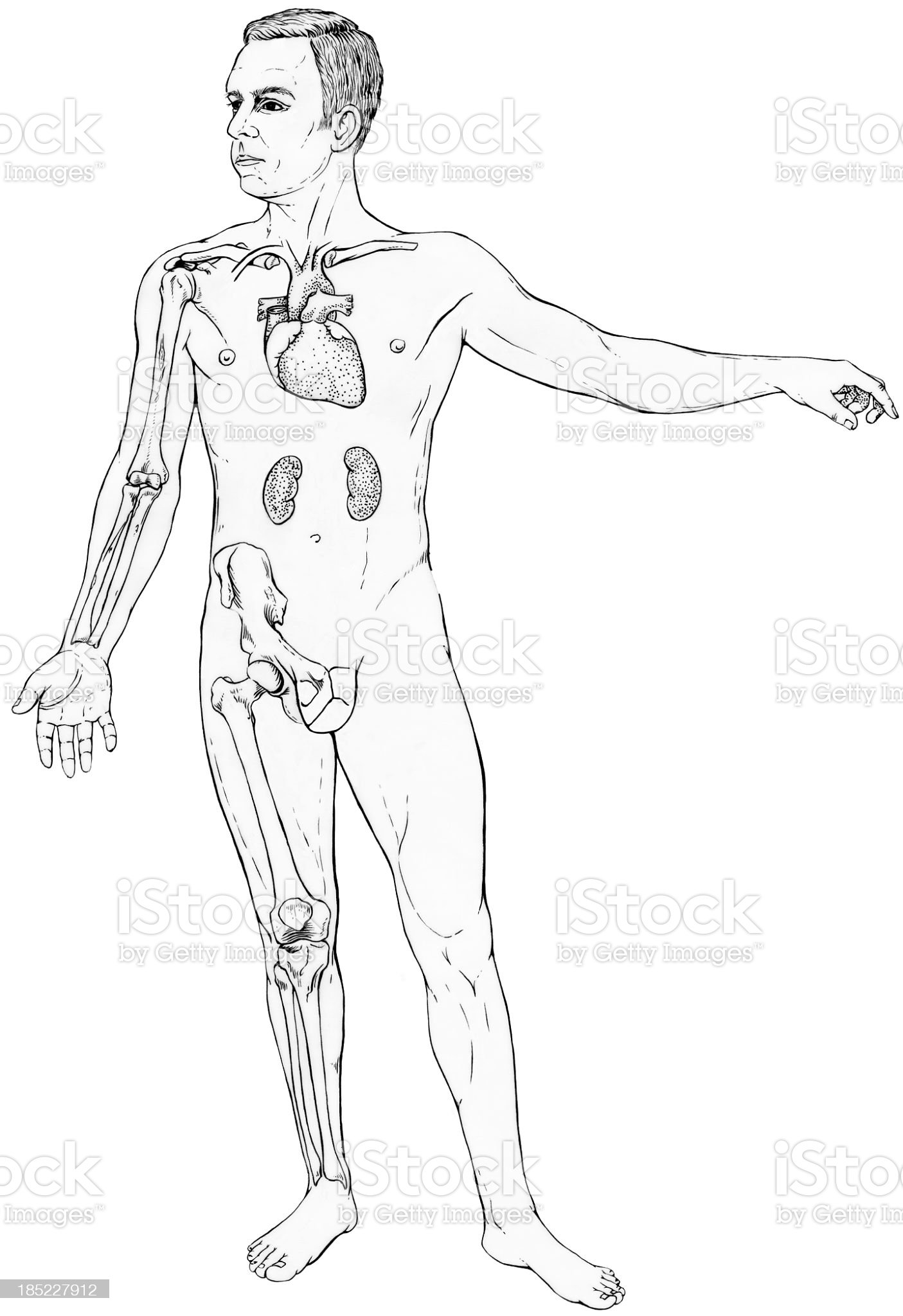 Male Figure with Select Internal Anatomy royalty-free stock vector art