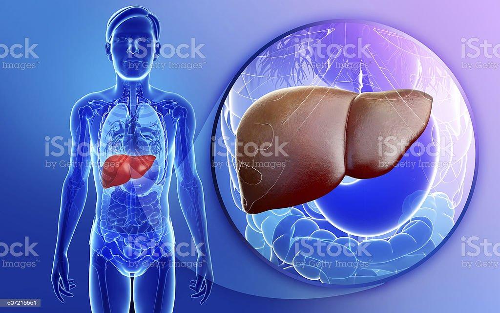 Male liver anatomy vector art illustration