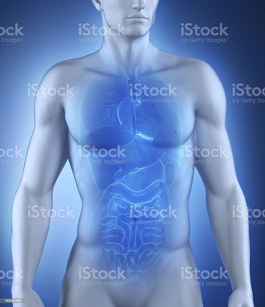 Male organs anatomy royalty-free stock vector art