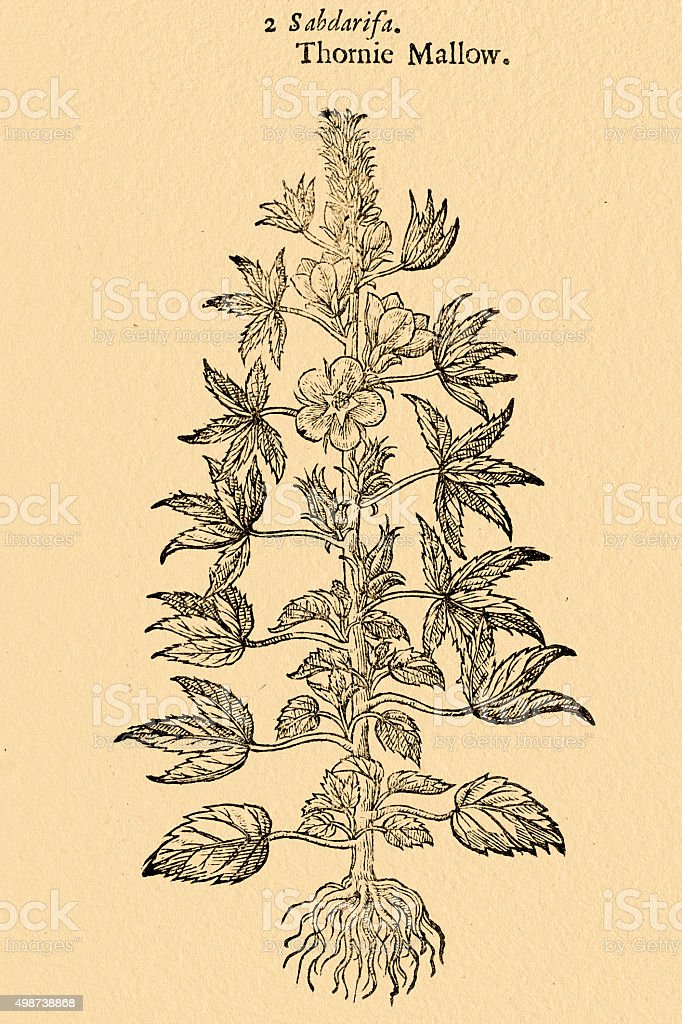 Mallow plant,  illustration by Gerard 1633 vector art illustration
