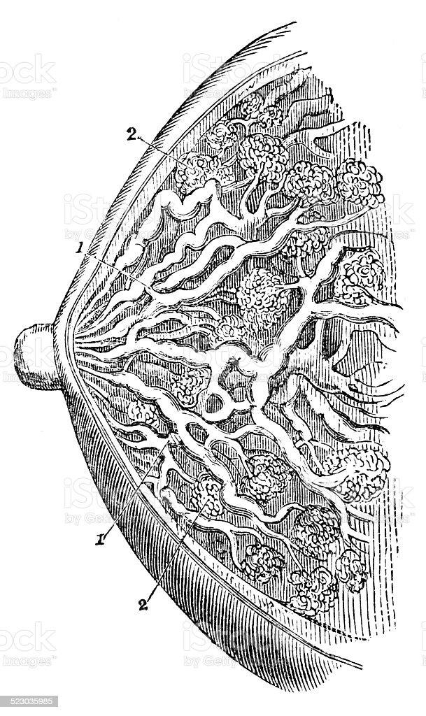 Mammary Gland vector art illustration