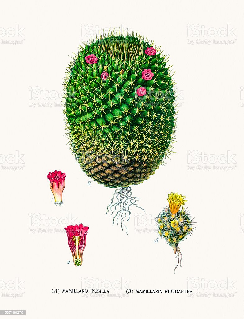 Mammillaria cactus vector art illustration