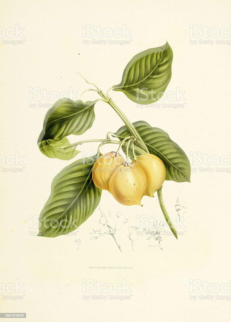 Mangosteen | Antique Plant Illustrations vector art illustration