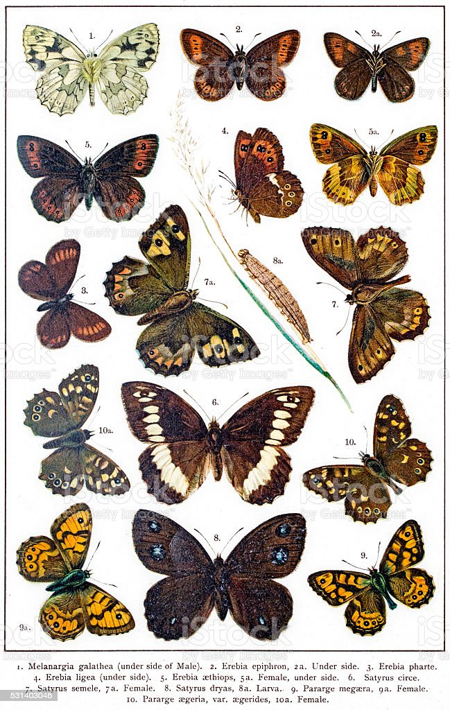 Marbled white, Ringlet and Satyrus butterflies of Europe vector art illustration