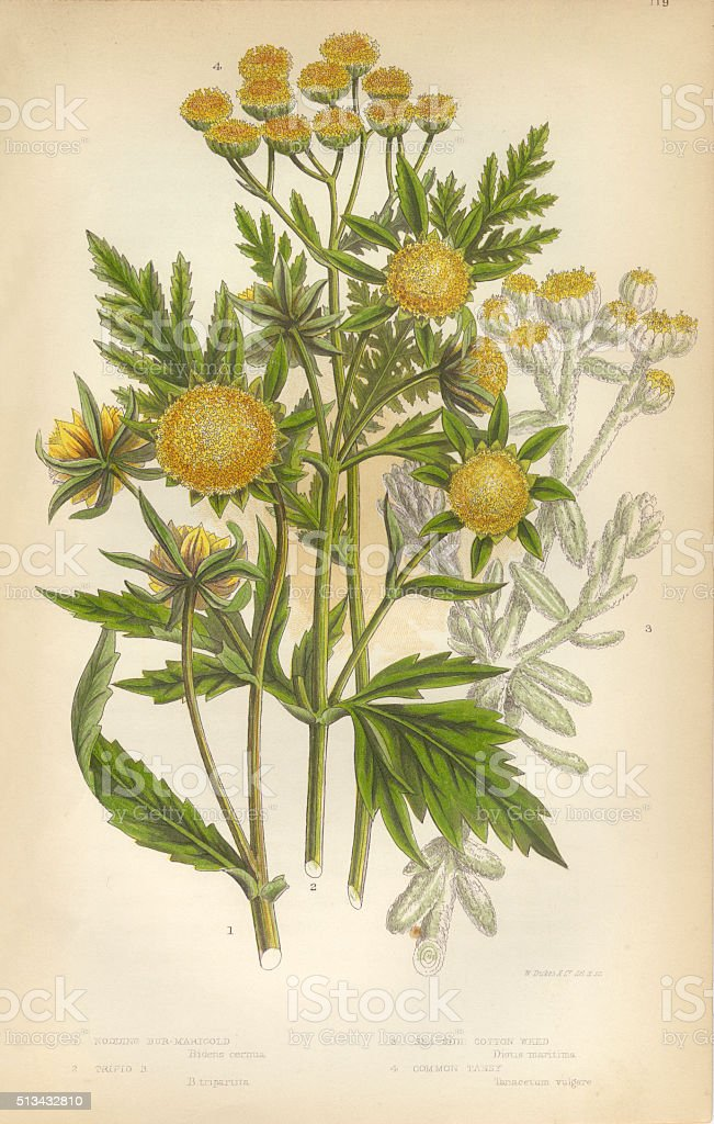 Marigold, Cottonweed, Sunflower, Tansy, Victorian Botanical Illustration stock photo