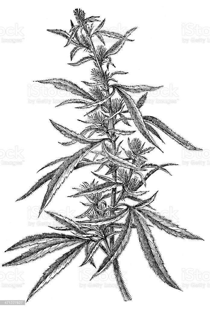 Marijuana Plant vector art illustration