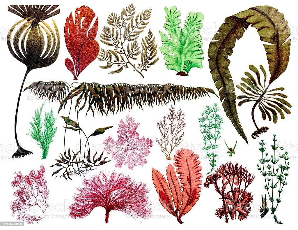 Marine plants, leaves and seaweed ,coral vector art illustration