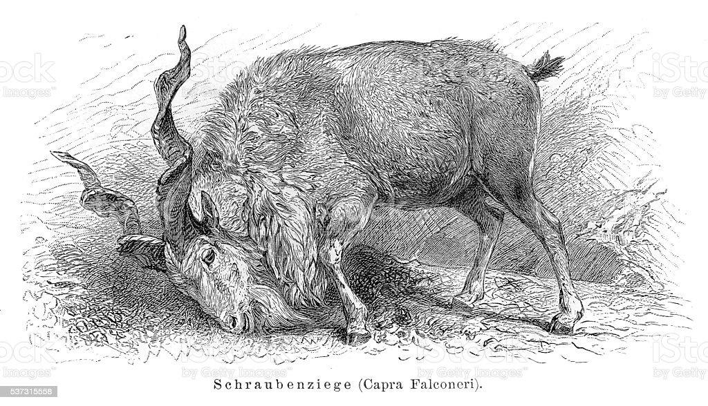 Markhor goat engraving 1897 vector art illustration