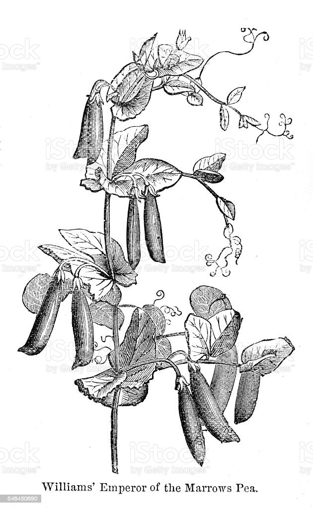 Marrow pea variations engraving 1874 vector art illustration