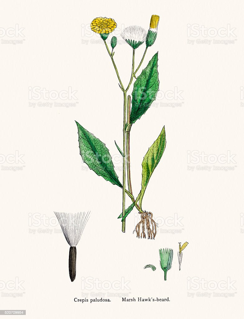 Marsh hawksbeard plant 19th century illustration vector art illustration